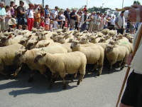 defile moutons